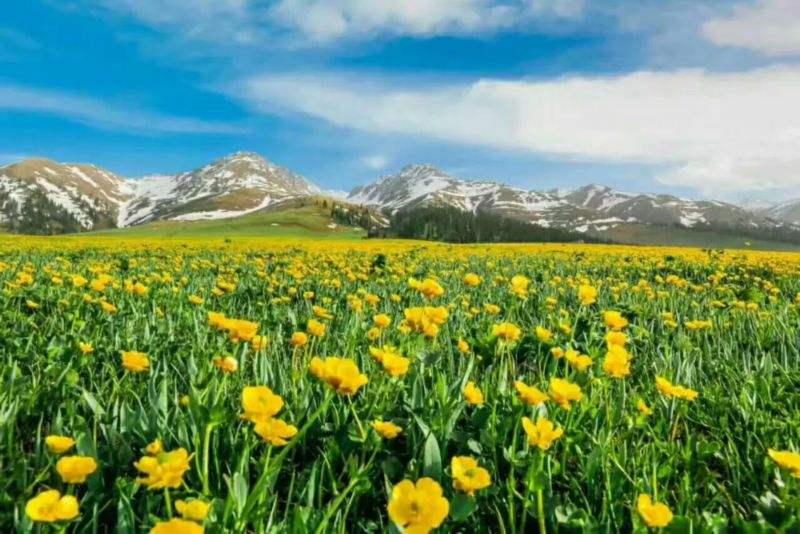那拉提草原的丹花
