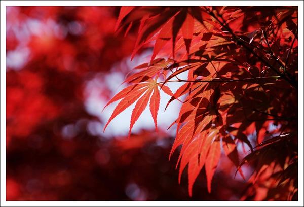 春天的红叶